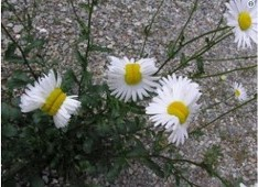 Deformed Daisy Flowers