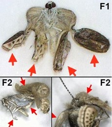 Diagram of Mutated Butterfly