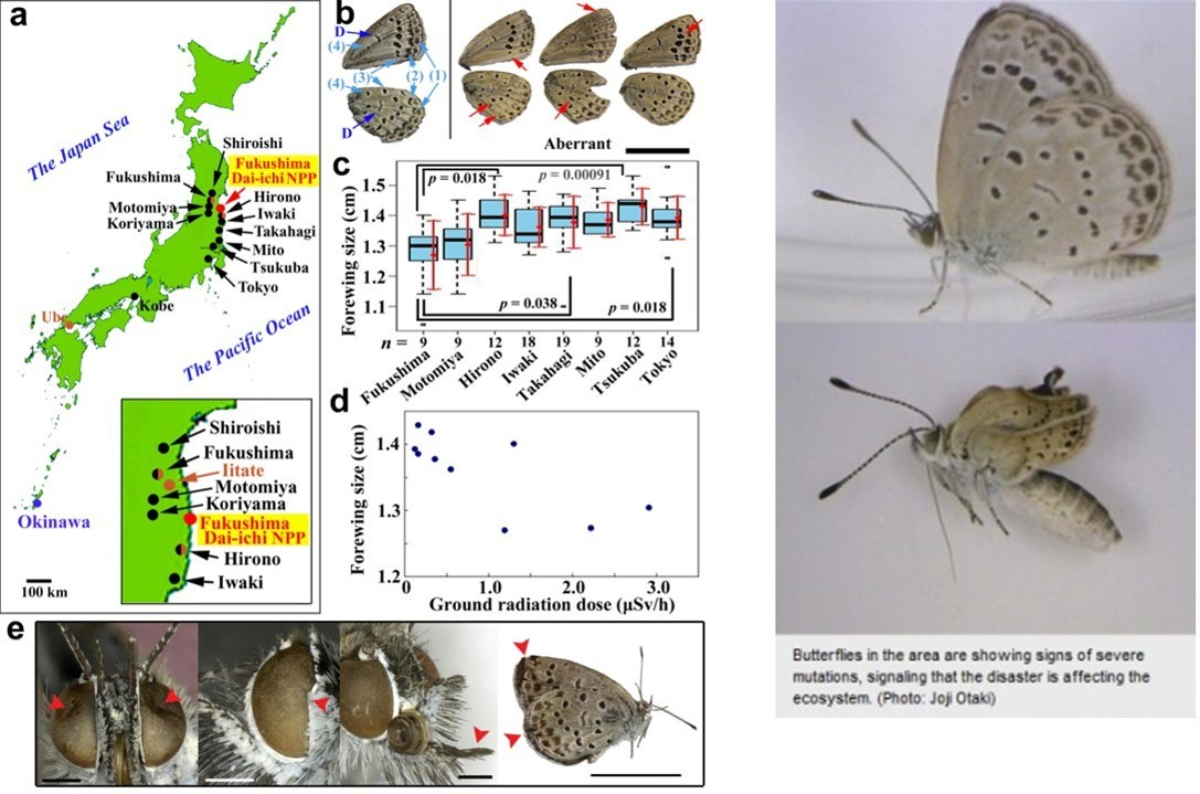 Butterflies affected by Fukushima fallout.