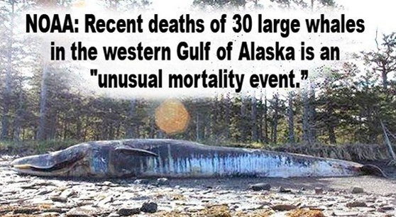 Unusual mortality events are not usual; such as deaths of 100,000's of thousands of sea lions off California coast, & birds in Alaska, & millions of fish in the Pacific, tide pool life, plankton, coral reefs, shore insects ... when are you going to hold Congress responsible for not getting rid of the privately owned Fed interest rate banks ...who own & direct all most ALL of the companies currently destroying life in the sea & contaminating the sky with heavy metal chemtrails & frying sea life with sonar & space age electromagnetic weapons used for weather & earthquake & tsunami & tornado warfare ...you better learn what's on this site before hell & evil & greed & sociopaths & psychopaths continue to destroy us & all life on the planet.
